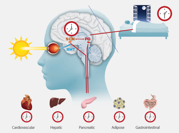View an illustration of alignment of circadian rhythms to the 24-hour light-dark cycle.